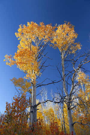 quaking aspen: Orange and yellow Quaking Aspen trees against blue sky