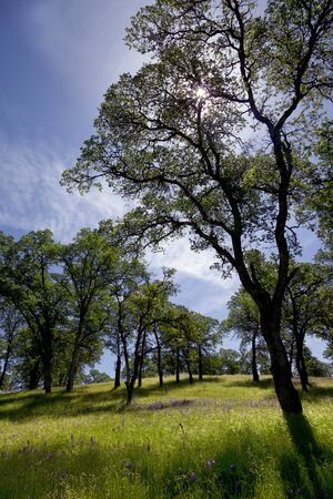 Springtime California woodland, oak trees, sun