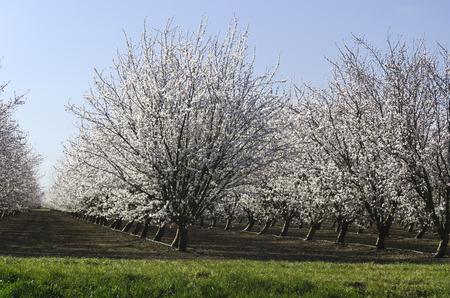 san joaquin valley: Almond trees in bloom, Springtime, San Joaquin Valley, California Stock Photo