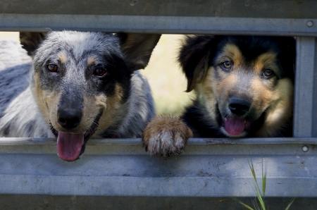 Ranch dog puppies at the corral gate, Blue Heeler Australian Cattle Dog and mixed breed