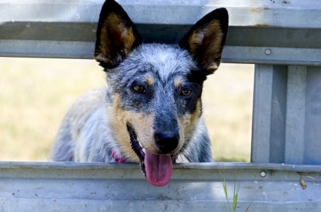 Australian Cattle Dog, a Bluie Heeler Puppie, waiting at the corral gate  Stock Photo