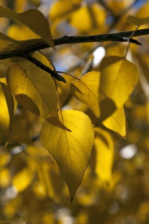 cottonwood  tree: Detail of yellow cottonwood tree leaves.