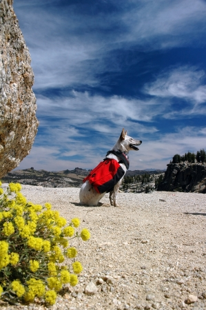 red heeler: Dog, Red Heeler Cattle Dog with red backpack against Summer sky