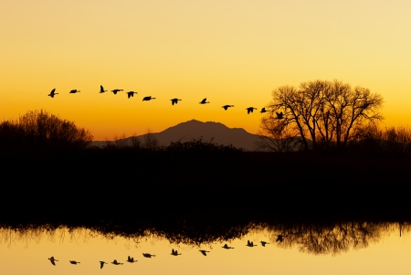 Silhouette of Canadian Geese flying at sunset, San Joaquin Valley, California