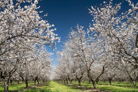 アーモンドの木の果樹園青空、春に咲く