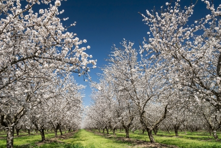 Almond trees blooming in orchard against blue, Spring sky