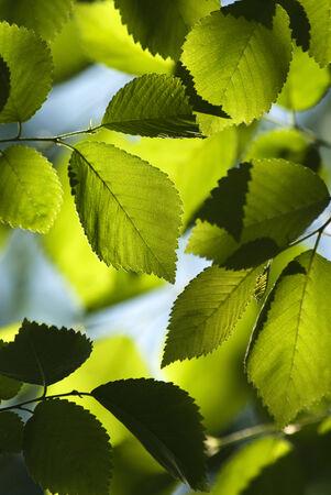 elm: Back lit close up of green Elm leaves