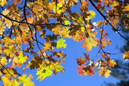 crimson: Detail of backlit crimson red, orange, and green Autumn Oak Leaves agains royal blue sky  Stock Photo