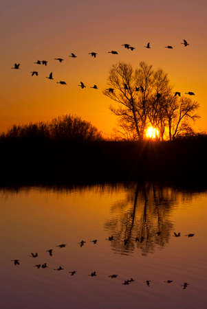 ocas: Reflexión de los gansos canadienses que vuelan sobre refugio de vida silvestre en una puesta de sol de color naranja, San Joaquin Valley, California