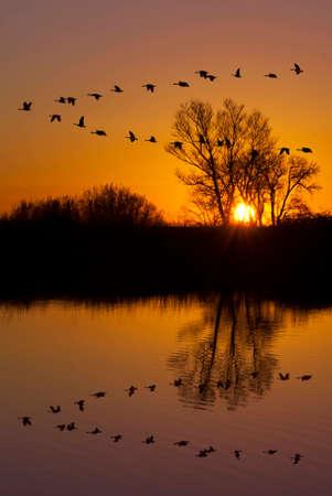 Riflessione di oche canadesi che volano sopra rifugio della fauna selvatica su un tramonto arancione, San Joaquin Valley, California