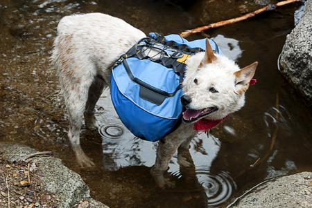 dog rock: Dog, Red Heeler Cattle Dog with blue backpack, wading a mountain stream crossing.
