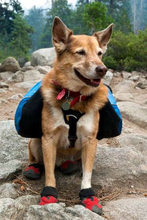 Cattle Dog with blue backpack and red canine hiking boots in Summer mountains.