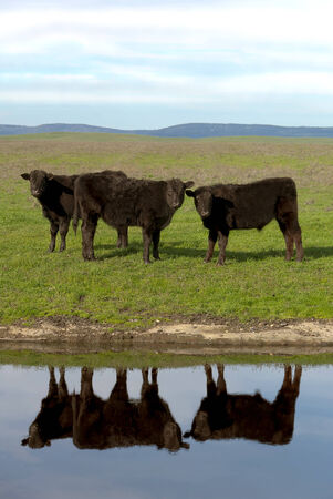 Black Angus cattle, with mirrored reflection in farm pond, California ranch range in background