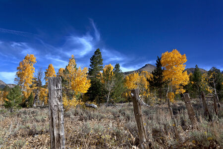 Yellow Autumn Aspen trees, aged fence posts, Sierra Nevada Range, California