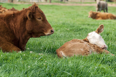 limousin: Red  Limousin bull and one of his Spring calves resting on green grass