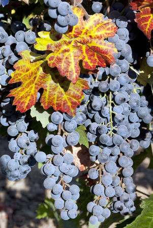 Red wine grape clusters with Autumn leaves at harvest time  Stock Photo
