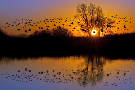 Reflection of Canadian geese flying over wildlife refuge on an orange and purple sunset, San Joaquin Valley, California