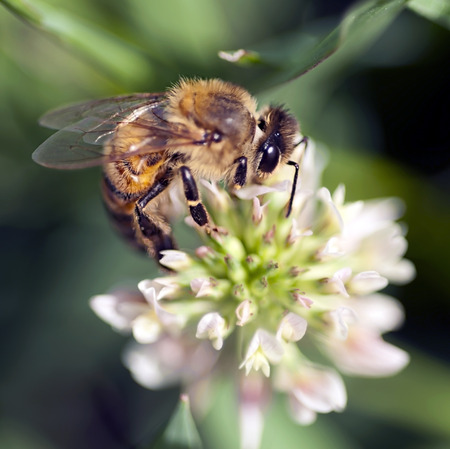 bee on flower: Macro closeup of Honey Bee gathering pollen on Clover Blossom Stock Photo