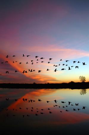 野生の赤い夕日、サンホアキン バレー、カリフォルニア州の野生生物保護区の上を飛んでカナダのガチョウの反射