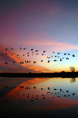 with reflection: Reflection of Canadian geese flying over wildlife refuge with a wild red sunset, San Joaquin Valley, California