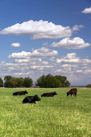 Ranch cattle rest and graze on Spring pasture with white cloudscape behind.