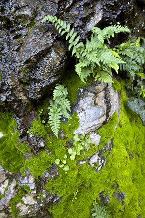 Detail of wet ferns, green moss, rocks, Northern California coastal rain forest. Banco de Imagens