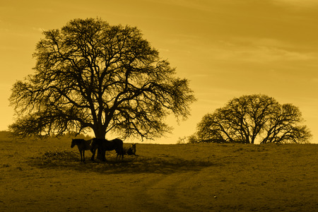 Amber silhouette of oak trees, horses, California foothill rangeland.
