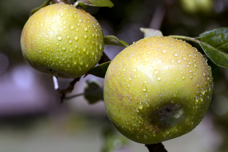 High contrast, extreme close-up of green apples with rain drops, hanging on apple tree.