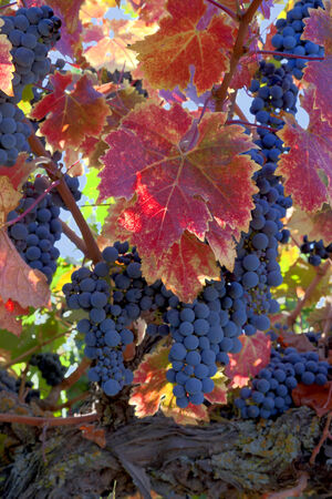 Red varietal wine grapes on vine, ripe for harvest, colorful red Autumn leaves.