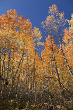 Orange and yellow Quaking Aspen trees against blue sky. Stock Photo