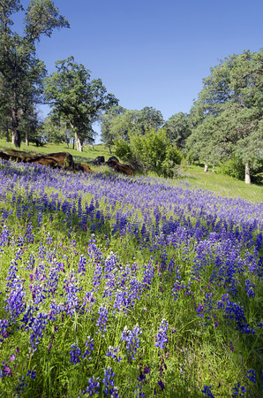 Spring Lupines and White Oak trees, Northern California sierra foothills.