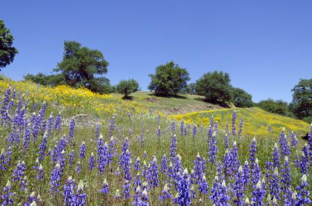 화이트 오크 나무, 북부 캘리포니아 시에라 산기슭 봄 루팡 및 캘리포니아 양귀비 야생화입니다. 스톡 콘텐츠