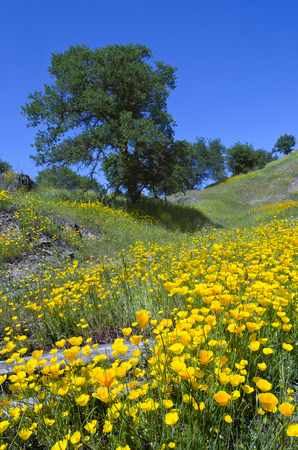 California Poppy wildflowers with White Oak trees, Northern California sierra foothills. photo