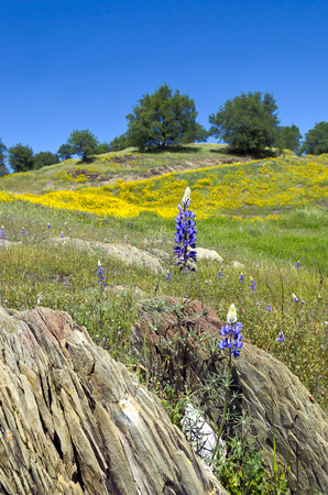 Spring Lupine and California Poppy wildflowers with White Oak trees, Northern California sierra foothills. photo