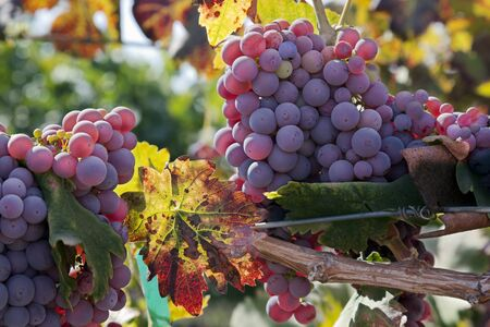 Red wine grape clusters ripe at harvest time.