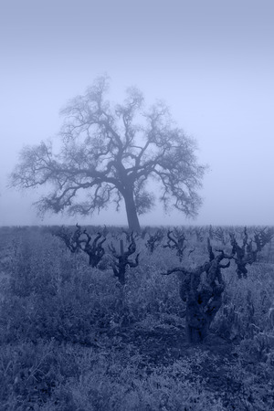 Bare Winter grape vines and Oak Tree in blue fog, Lodi, San Joaquin Valley, California.