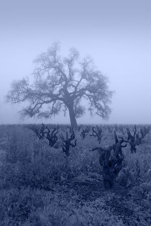 Bare Winter grape vines and Oak Tree in blue fog, Lodi, San Joaquin Valley, California.