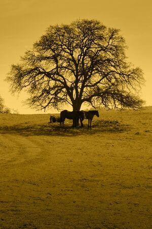 Amber silhouette of oak trees, horses, California foothill rangeland.