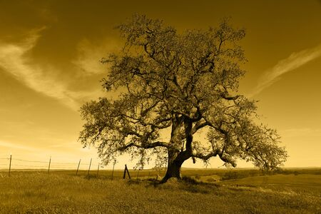 Lone oak tree silhouette in amber countryside, barbed wire fence, California range land.