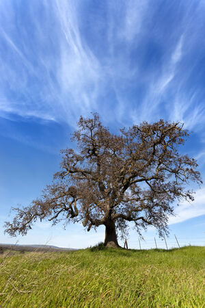 Lone oak tree silhouette in countryside, grass, barbed wire fence, and dramatic sky, California range land.