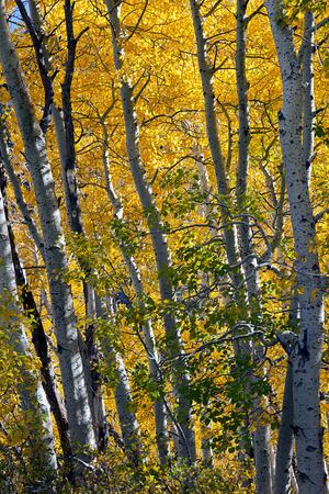 Aspen tree grove in full Autumn color  Banco de Imagens