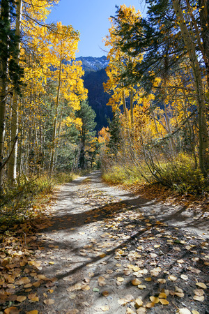 Aspen trees in full Autumn color, along unpaved mountain road