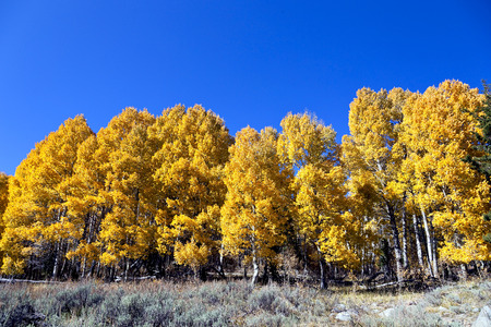 Aspen tree grove in full Autumn color, under deep blue Fall sky, sagebrush in foreground  Stock Photo
