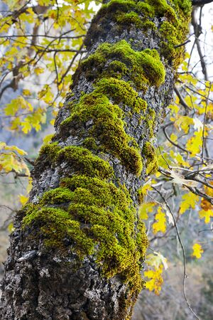 Green moss on Autumn Oak Tree, Yosemite National Park