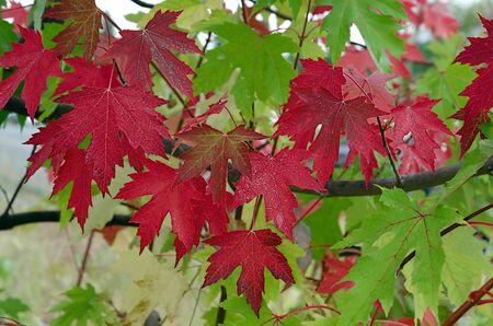 Red Autumn Maple Leaves under overcast in Fall