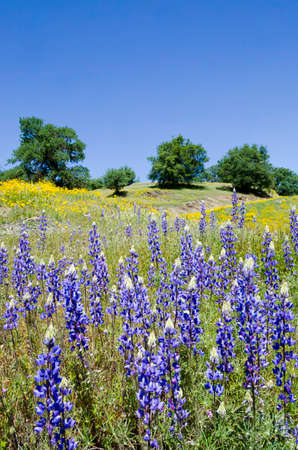Spring Lupine and California Poppy wildflowers with White Oak trees, Northern California sierra foothills