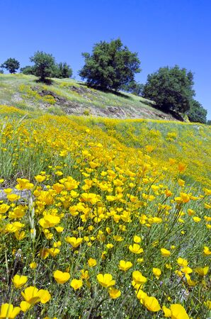 California Poppy wildflowers with White Oak trees, Northern California sierra foothills  Banco de Imagens