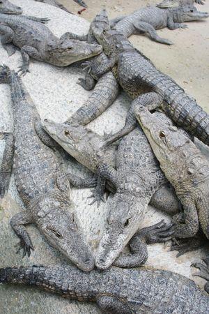 Pile of Crocodiles