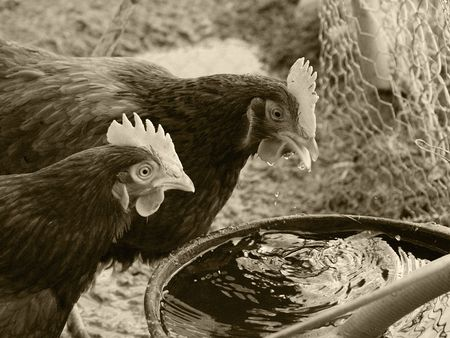 Thirsty Chickens