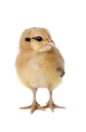 Ameraucana chick on isolated background